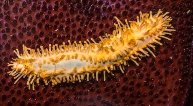Eupentacta_quinquesemita,_Explored._Stiff-footed_Sea_Cucumber.jpg