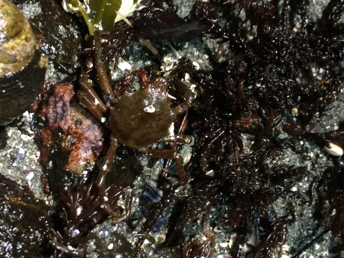 A kelp crab in the intertidal zone. (Photo Credit: Mitchell Sattler)