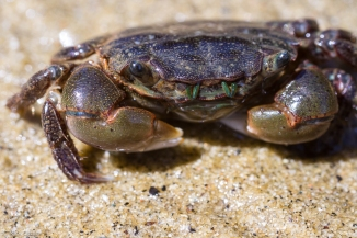 21Hemigrapsus oregonensis - yellow shore crab.jpg