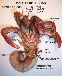 hermit_crab_male1
