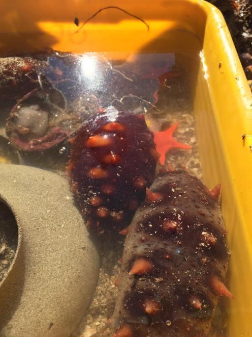 Sea cucumbers - photo by: Sam Pritch