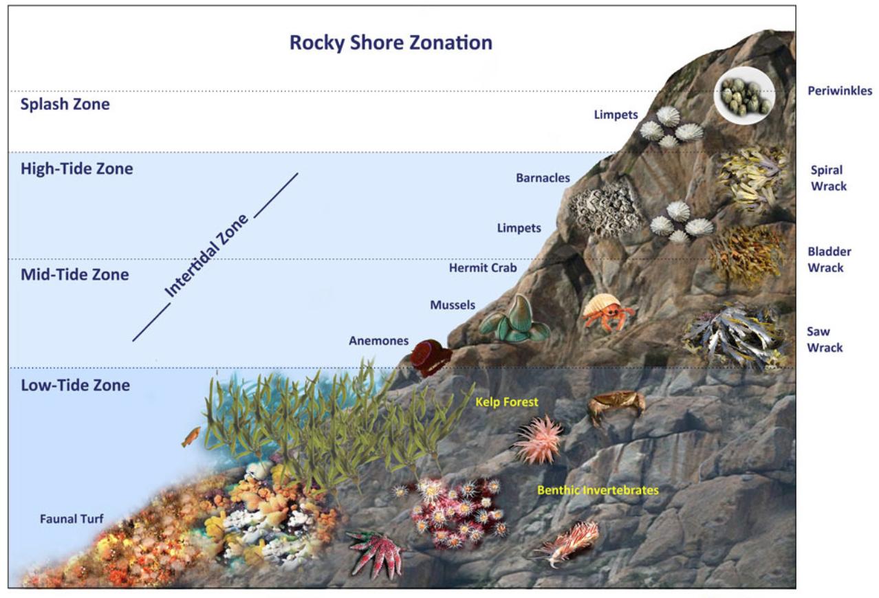 Intertidal Zone Diagram